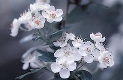 Hawthorn beauty (pasquale di marzo) Tags: flowers flower fiori parco esterno colore macro