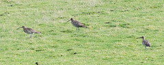 curlews (Bill Kirby1) Tags: cuckmere east sussex bird