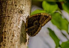 Butterfly (ost_jean) Tags: butterfly vlinder nature natuur nikon d5200 7003000 mm f4563 ostjean macro