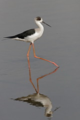 Echasse blanche - Black-winged Stilt (happybirds.ch) Tags: happybirds gambie thegambia afrique africa nature wildlife wild sauvage animal bird oiseau blackwingedstilt himantopushimantopus black winged stilt échasse blanche échasseblanche red rouge kotu kotubridge