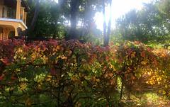 Autumn Colours on the Fence (RobW_) Tags: autumn coulours creeper fence tsilivi zakynthos greece monday 25nov2019 november 2019