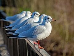 Row of gulls SVP 4686 (vickyoutenphoto) Tags: vickyouten gulls wildlife nature nikon nikond7200 nikkor55300mm sankeyvalleypark warrington uk