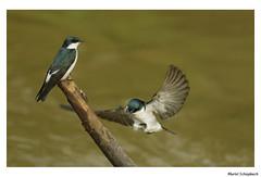 Mangrove Swallow (muriel.schupbach) Tags: mangroveswallow swallow hirondelle bird oiseau oiseauposéetenvol birds birdwatching costarica murielschupbach mscphotoblog4evercom