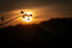 Sunset (Deepmike70) Tags: nature sunset golden sky closeup branch berry silhouette