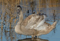 Knobbelzwaan. (jandewit2) Tags: knobbelzwaan muteswan natuur nederland netherlands natuurmonumenten nikon nature vogel bird binnenveld zwaan water wageningen watervogel