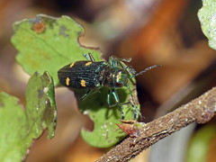 Jewel-beetle Nascioides quadrinotatus (Simon Grove (TMAG)) Tags: nascioidesquadrinotatus tasmania tmagzoology tasmanianmuseumandartgallery insecta coleoptera buprestidae