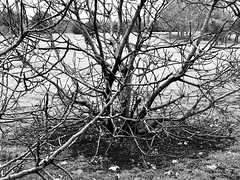 Fig tree in winter (woody lauland) Tags: austin texas austintx atx tx fig tree branches winter blackandwhite bnw bw monochrome grayscale