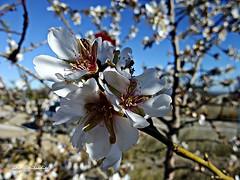 Comenzó la floración . 13 (adioslunitaadios) Tags: plantasyflores flordealmendro airelibre campo primavera macro fujifilm árbol