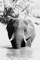 A little mid-week B&W... (lyn.f) Tags: elephant bull swimming water waterislife mammalswild nature naturelover nikon choberiver botswana africa safari pangolinphotosafaris