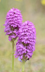 Seeing double (MJ Harbey) Tags: orchid pinkorchid wildorchid wildpinkorchid anglesey wales newboroughbeach nikon d3300 nikond3300 flower wildflowers