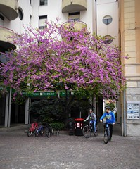 primavera in rosa (fotomie2009) Tags: vadoligure piazza cavour spring primavera tree albero flowers pink bici bicicletta people boys moto bicycle liguria italy italia savona ponente ligure