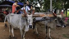 Transport chez le cultivateur à Trichy (richard.hebert68) Tags: sony 24240mm inde