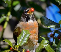 American Robin (jt893x) Tags: americanrobin bird d500 jt893x nikon nikond500 robin sigma sigma150600mmf563dgoshsms songbird thrush turdusmigratorius