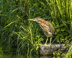 Green Heron (will139) Tags: greenheron butoridesvirescens wetlands water avian ornithology wildlife eaglecreekpark beautyinnature nopeople