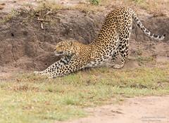 African Leopard - Panthera pardus (rosebudl1959) Tags: zebraplainsmaracamp leopard femaleleopard masaimara lorian november19