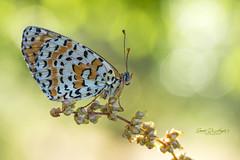 Melitaea (Samuele81) Tags: melitaea macro macrofotografia machaon tamron 90mm nikon natura nature nikonnaturephotography ngc d7200 butterfly farfalla fotografia fotografianaturalistica farfalle foto flight freedom fly
