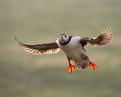 In-flight! (susie2778) Tags: olympus omdem1mkii olympusm40150mmf28 skomer puffin bird bif flying natureslenscouk fracterculaarctica