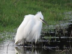 Little egret (marksargeant57) Tags: canonpowershotsx60hs water grass wader wadingbird bird egret framptonmarsh rspbframptonmarsh littleegret