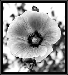 Malwa B&W. (andrzejskałuba) Tags: poland polska pieszyce dolnyśląsk silesia sudety europe plant plants panasonicdmcfz200 lumix macro monochrome malwa mallow nature natura natureshot natureworld naturephotographer nopeople beautiful beauty biały beautyofnature black blackwhite bw czarny garden ogród outdoor kwiat kwiaty flower flora floral flowers focusonforeground day white lato summer 1000v40f 1500v60f
