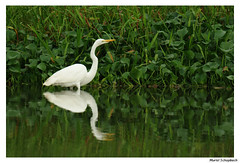 Grande aigrette (muriel.schupbach) Tags: costarica aigrette oiseau blanc bird birdwatching mscphotoblog4evercom murielschupbach