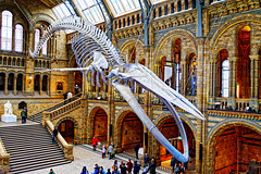 Whale (Croydon Clicker) Tags: whale blue skeleton figure atrium hall museum natural history people steps building architecture darwin statue london kensington nikon nikond700 nikkor