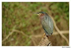 Green Heron (muriel.schupbach) Tags: costarica heron héron greenheron murielschupbach mscphotoblog4evercom