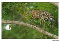 Bare-throated Tiger-Heron (muriel.schupbach) Tags: barethroatedtigerheron heron héron costarica bird birdwatching murielschupbach mscphotoblog4evercom