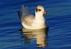 Mistley Quay Essex (Chris Baines) Tags: second winter mediterranean gull mistley quay essex