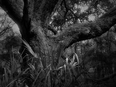 Old Oak (surfcaster9) Tags: oaktree palm blackwhite outside nature forest micro43 florida woods bw outdoors lowkey