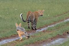 Are you followimg me? (Hector16) Tags: olaremotorogi motorogiconservancy kenya wildlife 2019 massaimara masaimara siana narokcounty