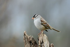 White-crowned Sparrow by Jackie B. Elmore 1-15-2020 Lincoln Co. KY (jackiebelmore) Tags: zonotrichialeucophrys whitecrownedsparrow sparrow lincolnco kentucky nikon850 tamronsp150600f563 jackiebelmore kos