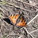 Etna butterfly