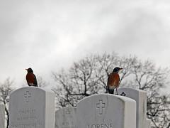 Robins @ National Cemetery (mark owens2009) Tags: nationalcemetery chattanooga chattanoogatennessee robins birds graves tree