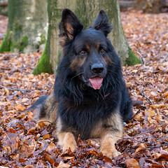 Aras (Jaco Verheul) Tags: d7100 jaco nikon verheul bos forest veluwe woods hoogsoeren gelderland nederland aras dog chien perro hund hond k9 gsd germanshepherd