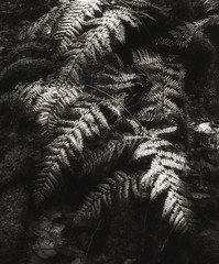 ferns (franmol01) Tags: fern blackwhite sepia contrast woodland abstract foliage nikon nik light shadow undergrowth forest ireland d750 lightroom 1635mm