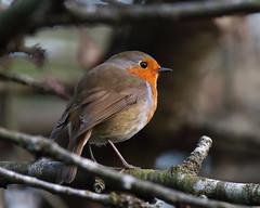 Robin (Treflyn) Tags: robin wild bird wildlife back garden earley reading berkshire uk
