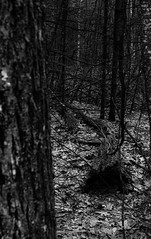 Winter Woods (eclibull) Tags: nature blackandwhite bw winter woods trees leaves