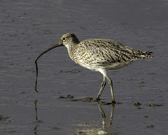 Curlew (pennyjreeves) Tags: curlew wader wadingbird bird titchwell rspb