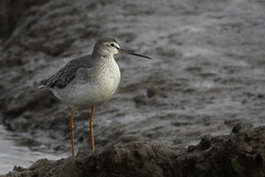 Spotted Redshank (pennyjreeves) Tags: spottedredshank wader wadingbird titchwell rspb bird