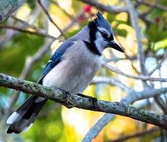 Blue Jay (ACEZandEIGHTZ) Tags: cyanocittacristata bird closeup nikond3200 bokeh avian macro bluejay tree backyard feathers wings branches birdwatcher winged