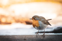 Robin (Angelo Aversa) Tags: nikon robin bird winter morning nature cute cold red life