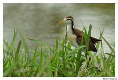 Northern Jacana (muriel.schupbach) Tags: northernjacana jacana costarica bird birdwatching oiseau murielschupbach mscphotoblog4evercom