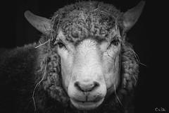 025A3631-3 (beauprecobo) Tags: mouton sheep laine whole black white nature animal