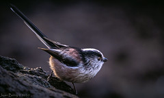Pennington Flash Long Tail Tit (joanjbberry) Tags: nature wildlife penningtonflash wigan wildanimals wildfowl greatermanchester xt3 fugifilm fujifilmxt3 bird fuji wildbird longtailtit