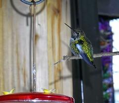 Winter Hummer (robinlamb1) Tags: natue outdoor animal bird hummingbird annashummingbird calypteanna feeder