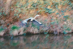 heron gone (Mano Green) Tags: heron bird british birds wildlife water canal flight flying waterways boating narrowboat cheshire england uk spring april 2017 canon eos 300 70300mm lens kodak gold 200 35mm film colour blur movement motion
