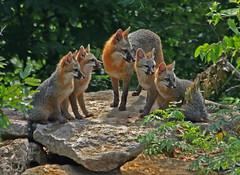 Gray Fox Family (thebanjobert) Tags: fox foxes grayfox nature wildlife oklahoma wildoklahoma