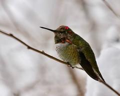 Anna's Hummingbird in snow9799