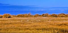 Tule Elk Out There (parmrussrap) Tags: sanlouisnationalwildliferefuge tule elk landscape mountains grazing herd harem