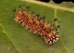 Mid-instar Sergeant Butterfly Caterpillar (Athyma sp., Nymphalidae) (John Horstman (itchydogimages, SINOBUG)) Tags: insect macro china yunnan itchydogimages sinobug entomology canon butterfly lepidoptera caterpillar larva brown nymphalidae sergeant
